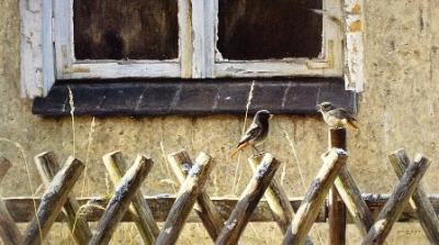 Elwin van der Kolk - zwarte roodstaarten